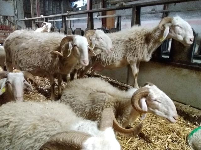 PROJET EN COURS : Financer l'achat d'un troupeau de brebis